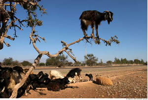 Argan Tree Goats by Remo Savisaar