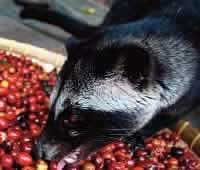 Kopi Luwak coffee, also known as Indonesia Palm Civet Coffee, Animal Coffee, or Cat Coffee, comes from the Indonesian island of Sumatra