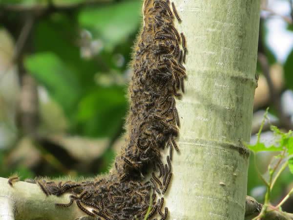 Tent Caterpillars on tree