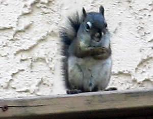 Squirrel House Squirrel Versus Man The Northern Star