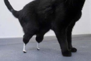 Prosthetic Paws Allow Oscar The Cat To Bounce Back After Injury
