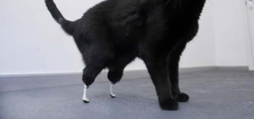 Prosthetic Paws - Oscar The Cat