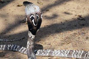 Cobra Dies From Multiple Manbites