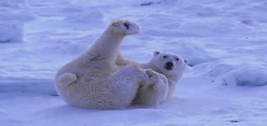 Polar Bear Slipping