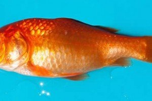 Chinese Goldfish Beauty Pageant Huge Success