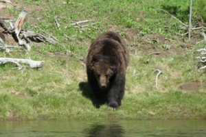 Tiny Woman Survives Savage Grizzly Bear Attack