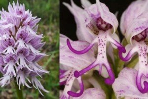 Naked Man Orchid – Flower Bares It All
