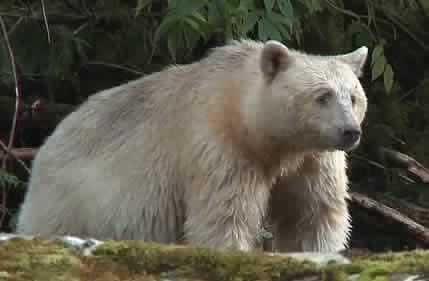 British Columbia Bear
