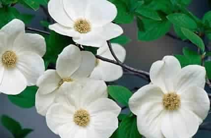 British Columbia Flower