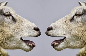Sheep Politically Correct