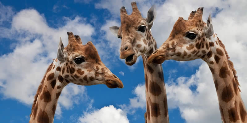 Giraffes Talking About How To Change the World